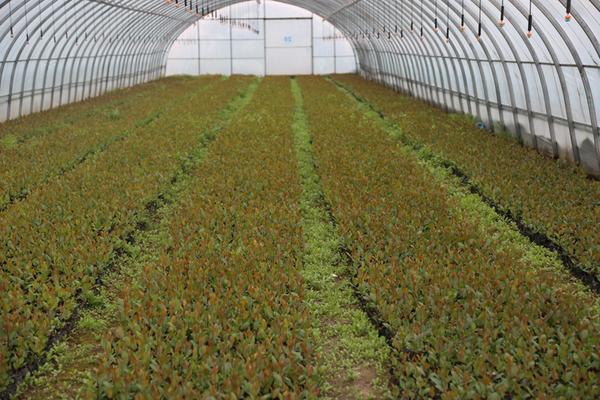 2黑果腺肋花楸种植基地.jpg